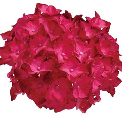 アジサイの花色が変わるメカニズム ディープレッド