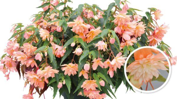 ベゴニア べレコニア(八重咲き)