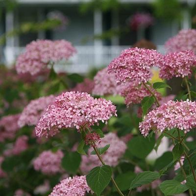 アメリカあじさいピンクのアナベルハイドランジア