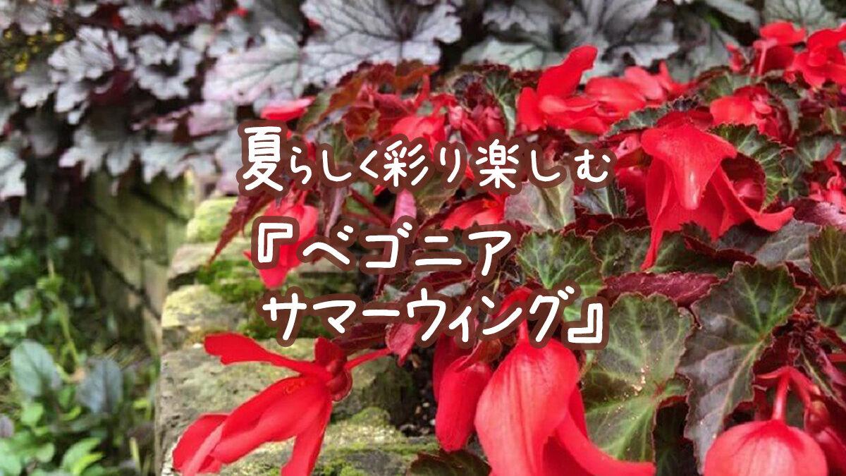 夏らしく彩り楽しむアプローチシリーズ『ベゴニアサマーウィング』