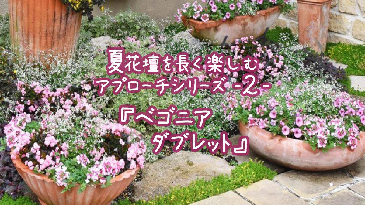 夏花壇を長く楽しむアプローチシリーズ2『ベゴニアダブレット』