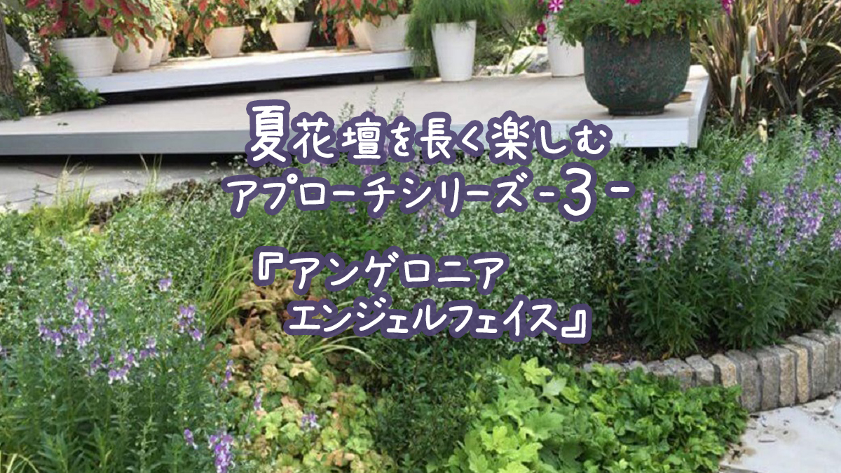 夏花壇を長く楽しむアプローチシリーズ3『アンゲロニアエンジェルフェイス』