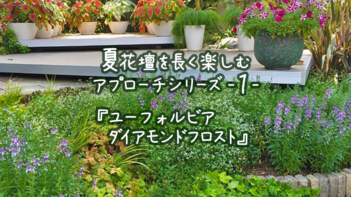 夏花壇を長く楽しむアプローチシリーズ1『ユーフォルビアダイアモンドフロスト』