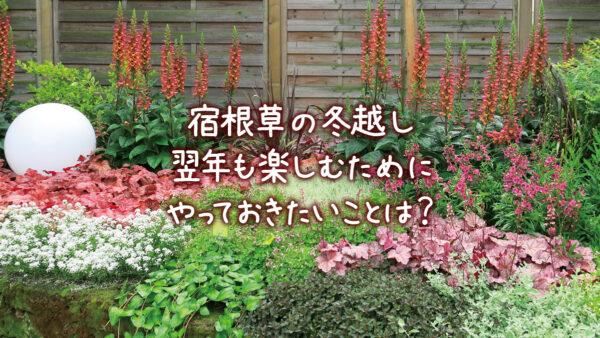 宿根草(ペレニアル)や多年草の冬越し 翌年も楽しむためにやっておきたいこと