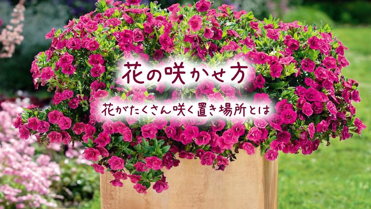 花の咲かせ方_花がたくさん咲く置き場所とは