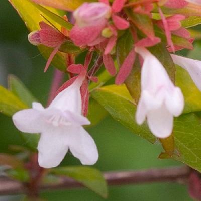 アベリアブロンズアニバーサリ低木(シュラブ)