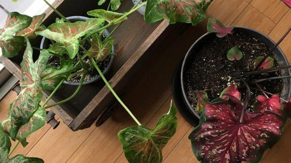 植物をお部屋で冬越しする方法 冬越しガーデニング
