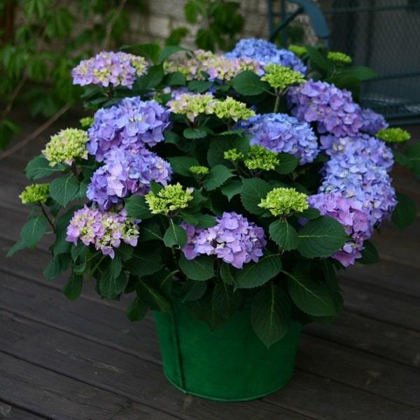 鉢植えのアジサイ(紫陽花)