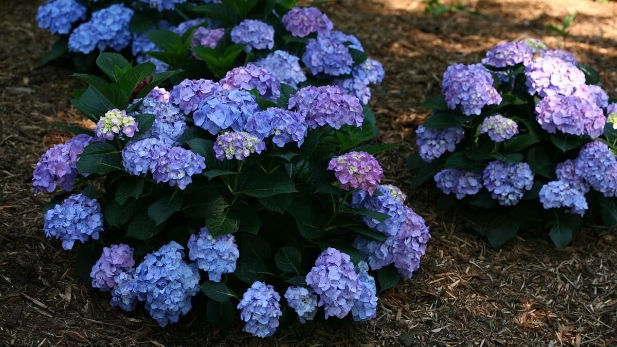 アジサイの育て方紫陽花の育て方