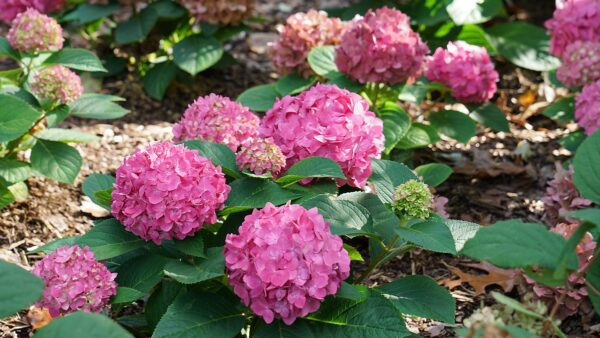 アジサイの花色が変わるメカニズム