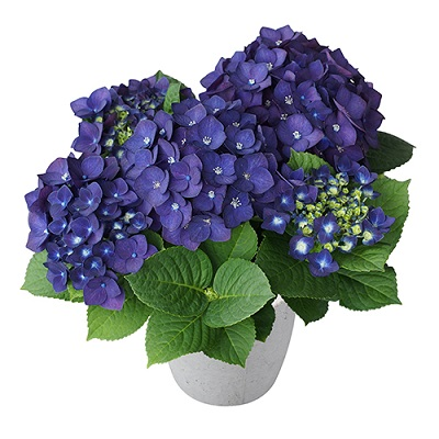 アジサイの花色が変わるメカニズム ディープパープル