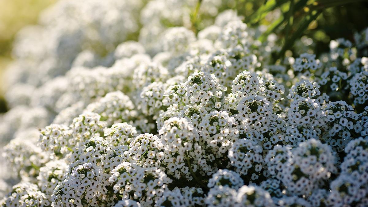 寒さに強い冬の花